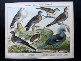 Kirby & Schubert 1889 Bird. Stock Dove, Extinct Passenger Pigeon, Dove, Quail
